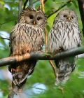 Bird_Photo_tour_Ural_Owl__Ecotours_Kondor_EcoLodge_Hungary_IMG_0279c_Ural_Owl.jpg