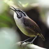 S05A7425-White-breasted Wood-Wren-crop160x160