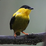 S05A7609-Golden-collared Manakin-crop160x160